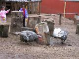 Turkeys in the Petting Zoo