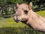 Camel face 2.JPG