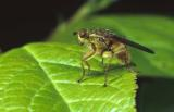 Europian Flies
