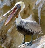 IMG_7611 pelicans.jpg