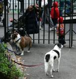 Patient Dogs at the Toddlers Play Area in Washington Square Park