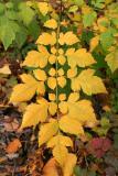 Golden Rain Tree Sapling Foliage