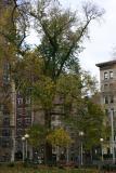 English Elm Northwest Corner of  Washington Square Park