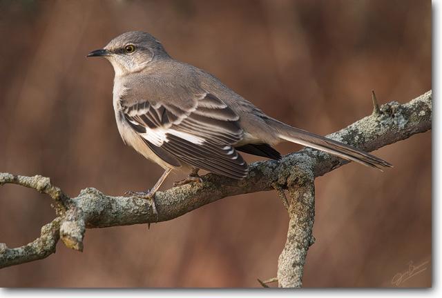 <!-- CRW_0177.jpg -->Northern Mockingbird
