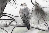 #2 - Red-tail-Hawk