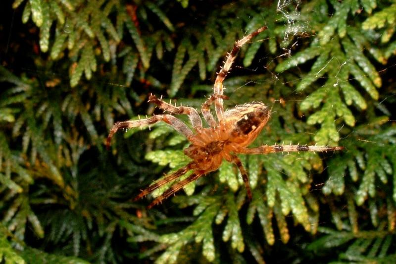 Spider (macro & flash)