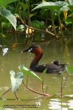 Little Grebe   Scientific name - Tachybaptus ruficollis   Habitat - Uncommon, in freshwater ponds or marshes.