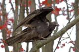 Turkey Vulture Juvenile
