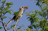 Red-billed Hornbill.