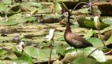 White-faced Whistling Duck.