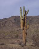 Dying Saguaro