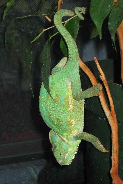 Charmeleon (veiled chameleon)