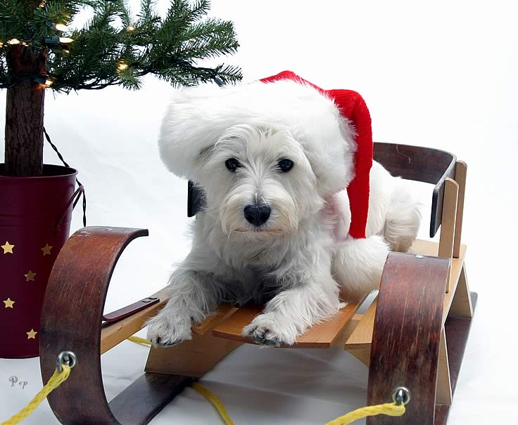 Dec. 21, 2004 - A Westie Christmas to you