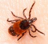 female Deer Tick - Ixodes scapularis