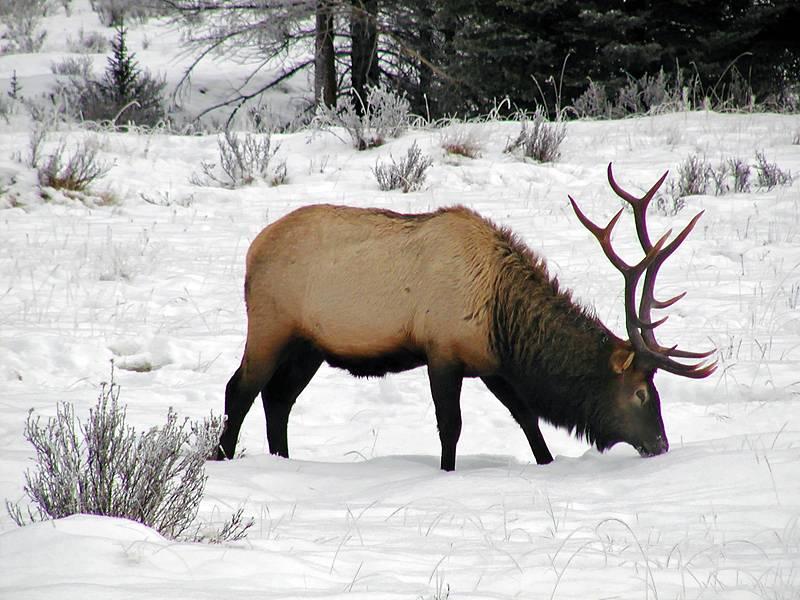 Winter feeding Elk