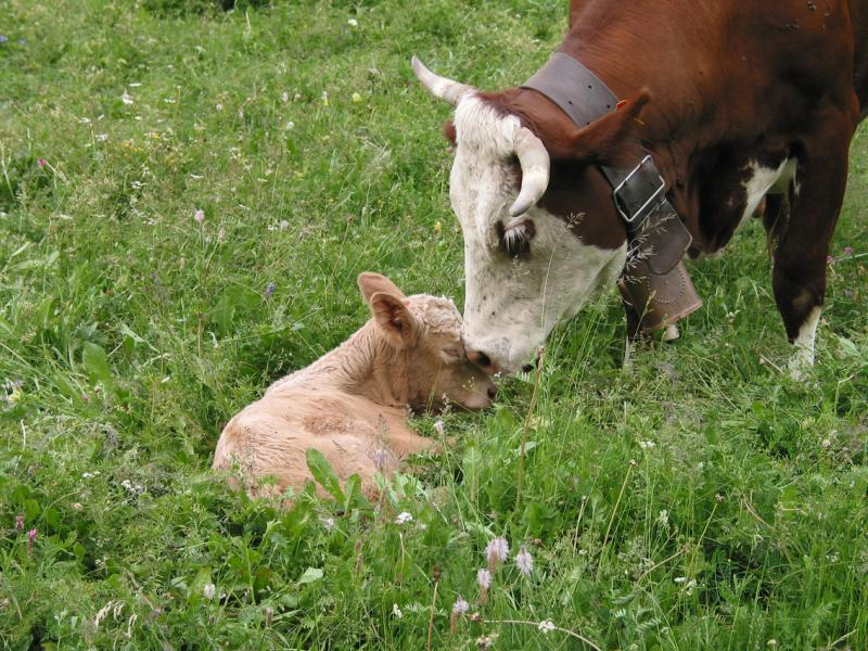 Mother cow cleans the newborn