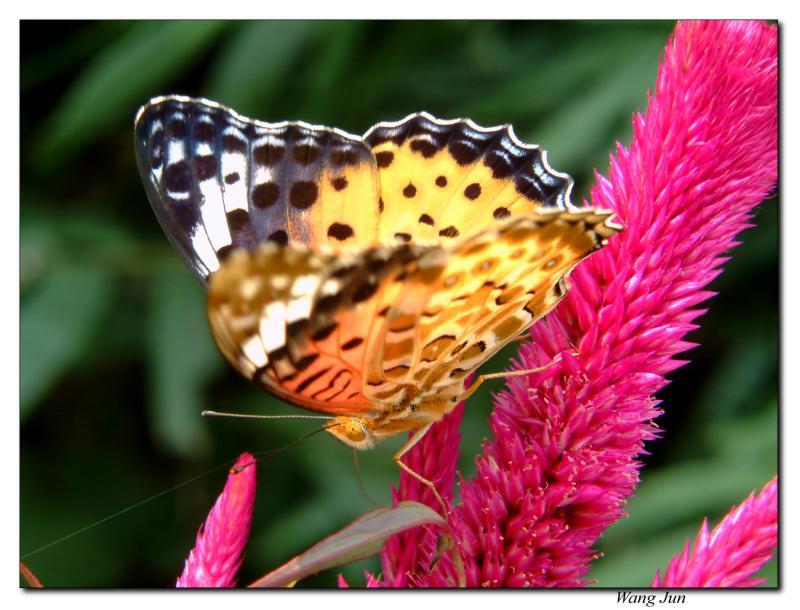 河边的蝴蝶