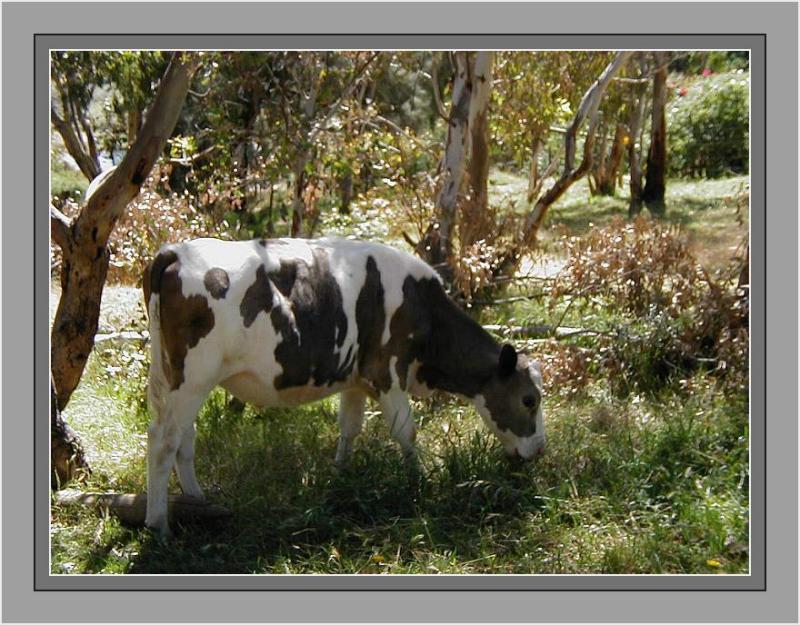Black  white calf