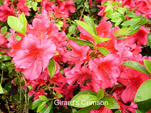 Girards Crimson