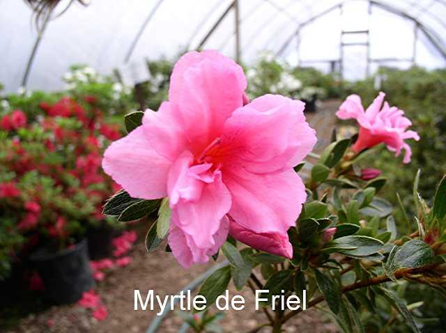 Myrtle de Friel