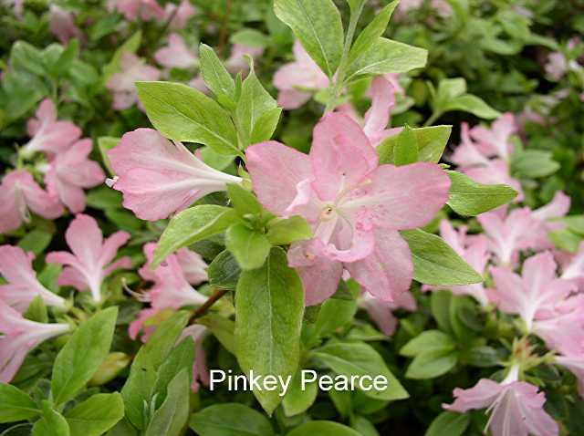 Pinkey Pearce
