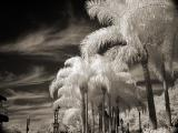 Epcot Palm Trees infrared