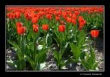 Tulips, and more tulips...