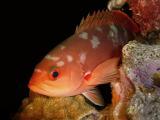 Creolefish