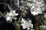 appleblossom1.jpg