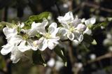 appleblossom2.jpg