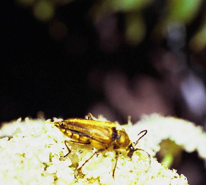 Longhorned beetle, Cosmosalia chrysocoma