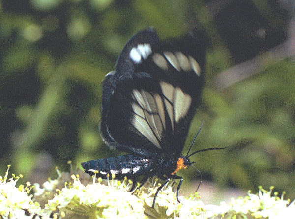 Gnophaela vermiculata moth