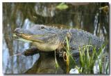 EvergladesGatorRetouched.jpg