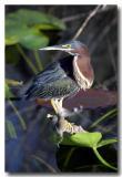 Everglades 7336