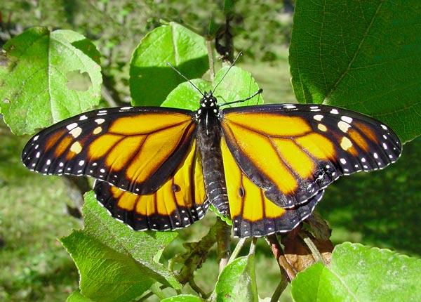 monarch-3710b.jpg