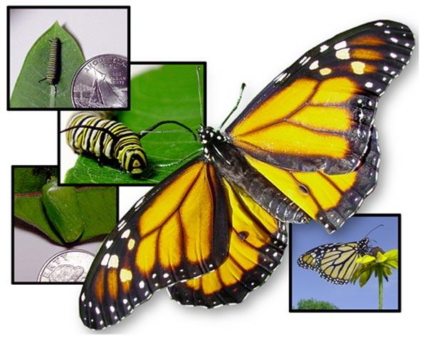 monarch-col.jpg