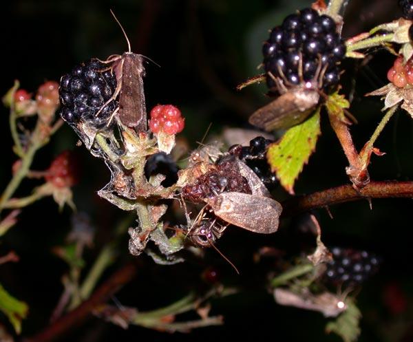moths-unk-blackberies-5701.jpg