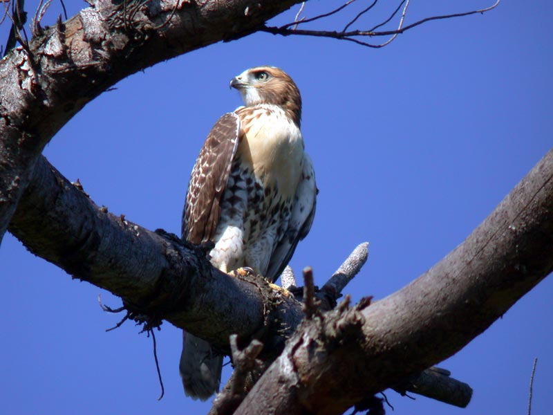 red-tailed-hawk-5899.jpg