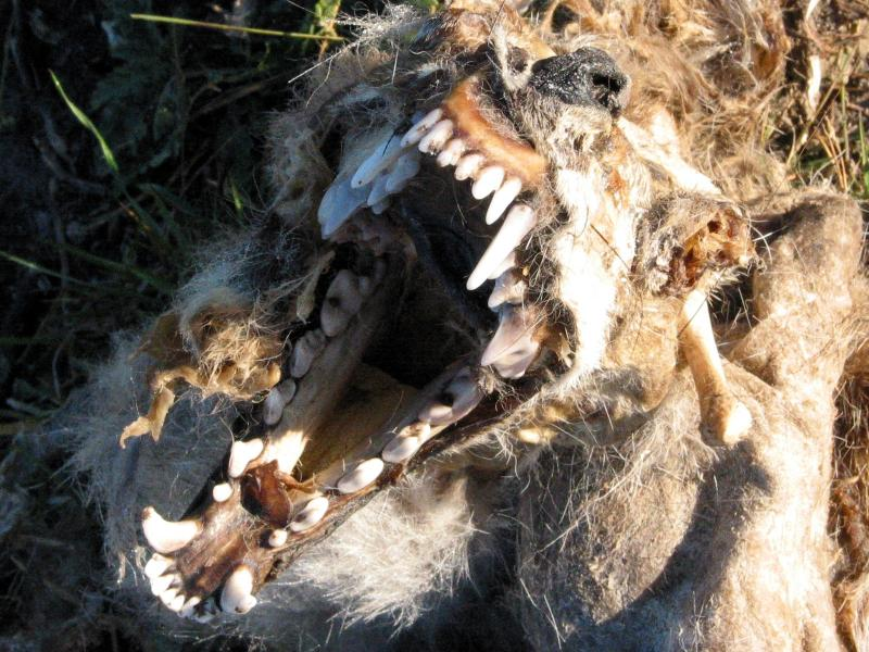 Face of Death; long-gone yote.