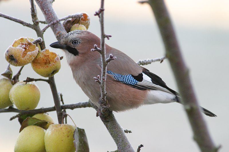 What jays eat (apples!)