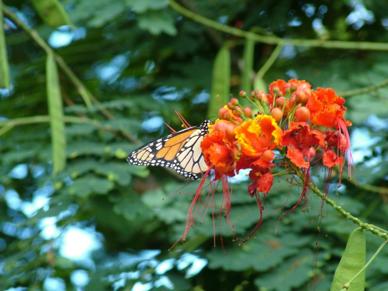 Monarch Butterfly on Royal Kahili Flowers