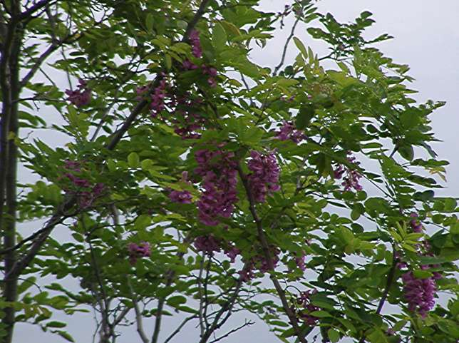 On the bluff - locust tree?