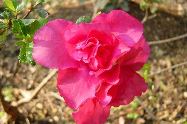 Dixie Rose