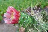 A Cactus Blooms with Morning Dew