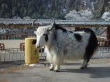 Tibetian Hairy Bulls 1