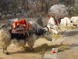 Tibetian Hairy Bulls 2