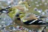 Goldfinch Party II