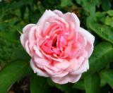 PINK-ROSE FOR GAYLE.jpg
