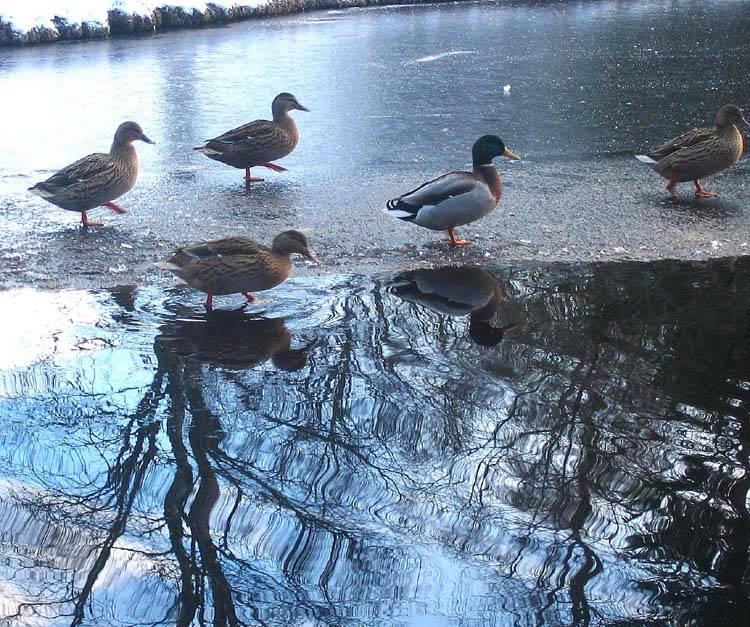 Cold ducks.jpg
