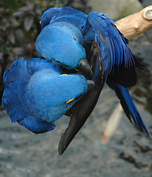 Blue Macaws 3